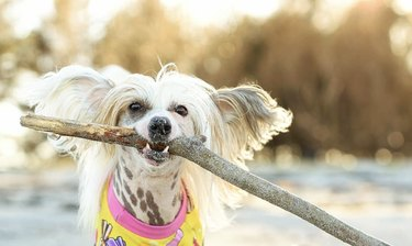 dog with huge stick in mouth