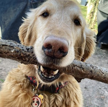 dog with big stick in mouth