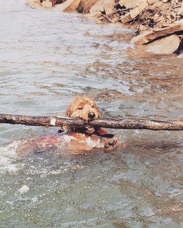 dog in river with big stick
