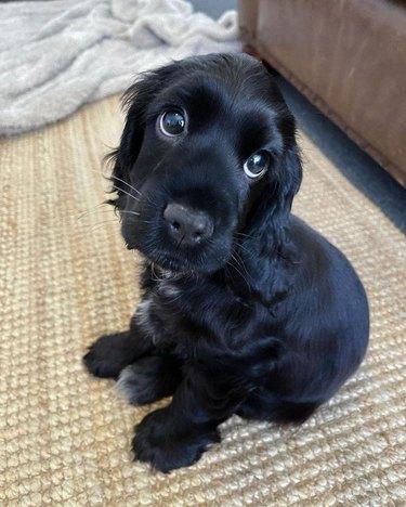 Black puppy with big puppy dog eyes