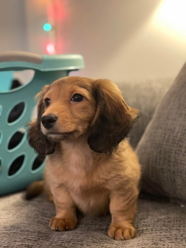 Long haired Dachshund puppy on couch