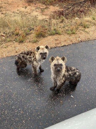 Two hyena cubs on an asphalt road