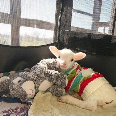 Lamb in a sweater cuddling with stuffed animal
