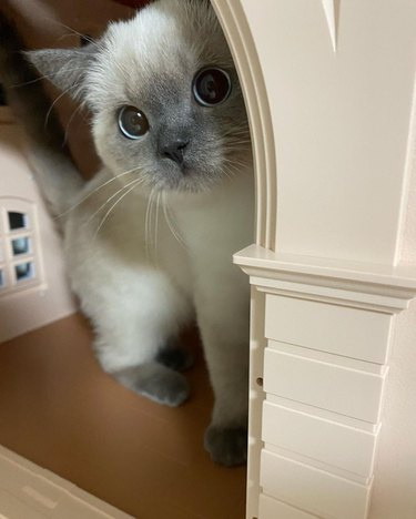 Kitten in a dollhouse