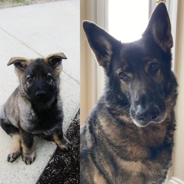 Photo of German Shepherd puppy next to photo of same dog as an adult
