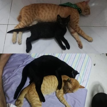 Photo of orange cat spooning black kitten on top of photo of same cats in reversed position as an adult