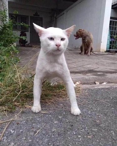 cat with broad shoulders stances like dog