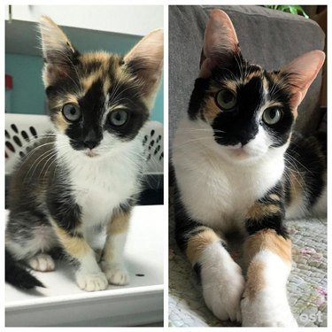 Photo of kitten next to photo of same cat as an adult
