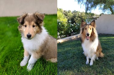 Photo of Shetland Sheepdog puppy next to photo of same dog as an adult