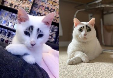 Photo of kitten with unusual markings and crossed front paws next to photo of same cat as an adult in the same pose