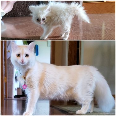 Photo of very scruffy white kitten next to photo of same cat as a sleek adult