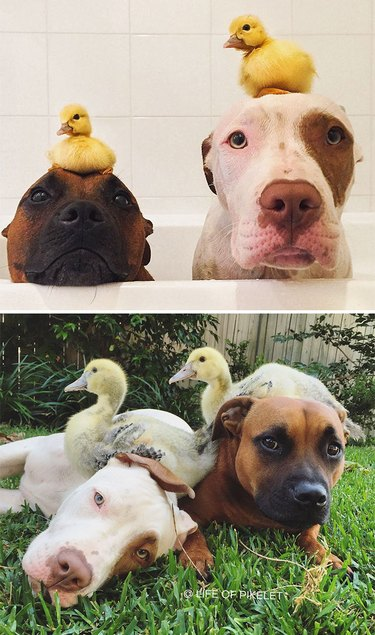 Photo of two dogs in a bathtub with ducklings on their heads above photo of dogs laying in grass with adult ducks perched on top of them