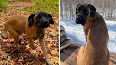 Photo of English Mastiff puppy next to photo of same dog as an adult