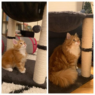 Photo of orange kitten standing by scratching post next to photo of same scratching post and cat as an adult