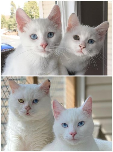 Photo of pair of white kitten on top of photo of same cats as an adult