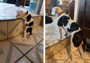 Photo of puppy struggling to climb stairs next to photo of same dog standing on stairs as an adult