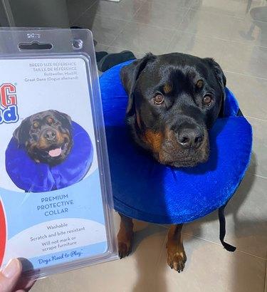 dog wears protective collar