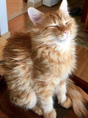 orange cat with fabulous hair