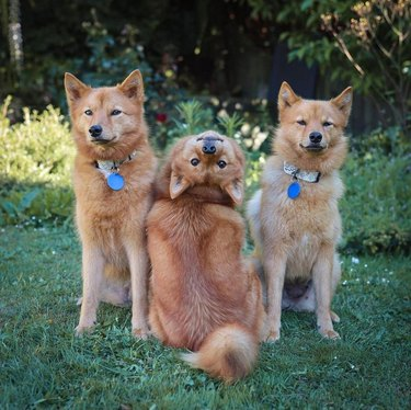 dogs pose for funny portrait