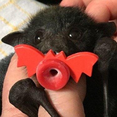 baby bat holding bat-shaped pacifier