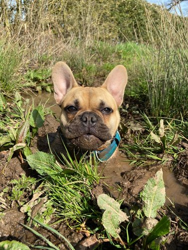French Bulldog submerged to the neck in a mud puddle