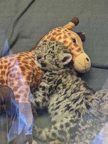 snow leopard cuddles with stuffed animal