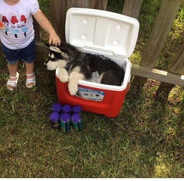 Husky puppy laying in portable cooler
