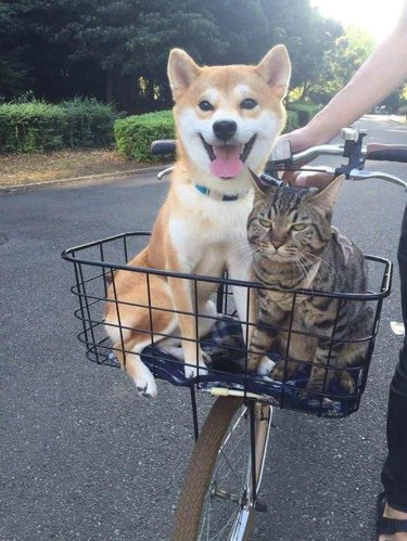 cat and dog in bike basket