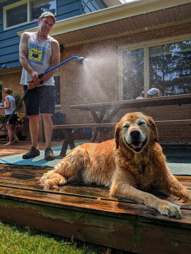 Senior Golden Retriever sitting in a mist provided by man with hose
