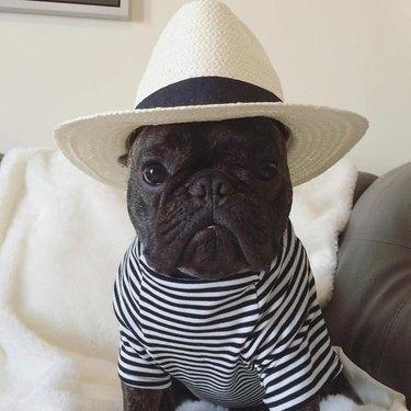 French Bulldog in striped shirt and sun hat
