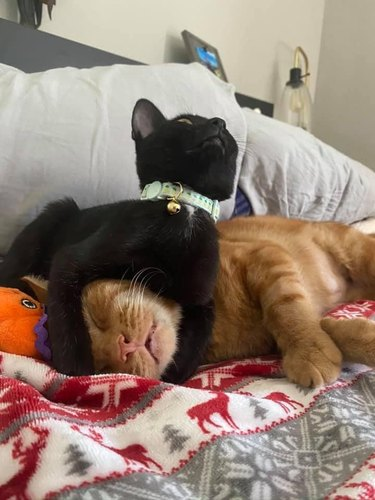 black cat protects orange cat