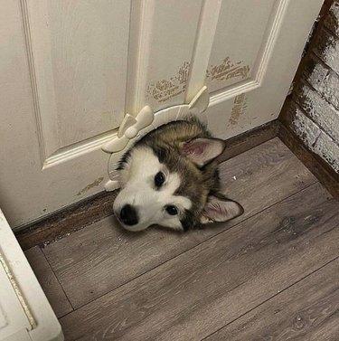 dog pokes head through cat door