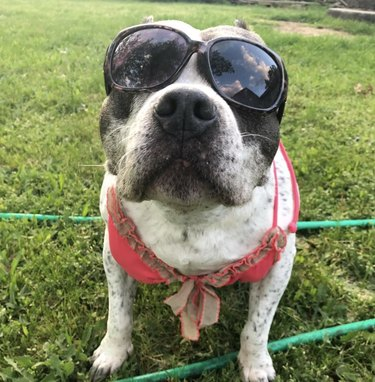 dog in sunglasses and swimsuit