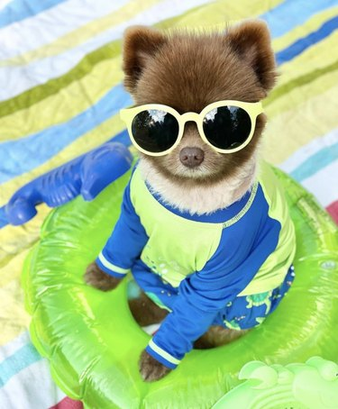 dog in swimsuit and sunglasses