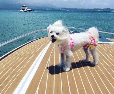 dog in swimsuit