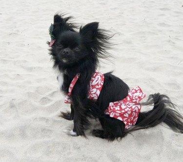 black dog in red bikini