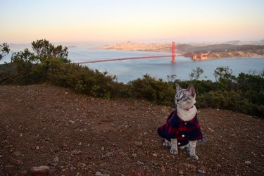 cat poses for picture in front of Golden Gate Bridge