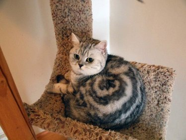 Cat with a swirl pattern in its fur