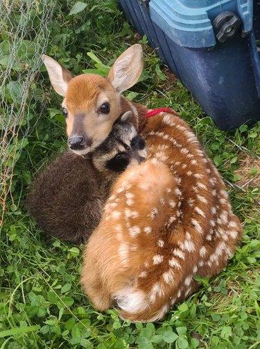 Baby raccoon and fawn cuddling