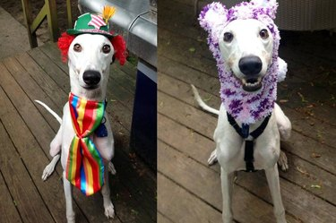 Greyhound wearing silly hats
