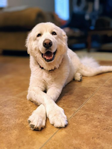 Happy dog with crossed paws