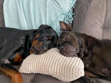dogs share pillow