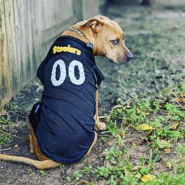 dog wearing steelers jersey