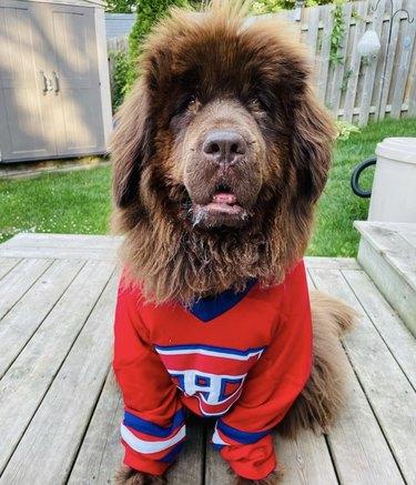 dog wearing habs jersey