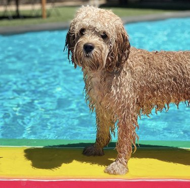 wet dog on surfboard in pool