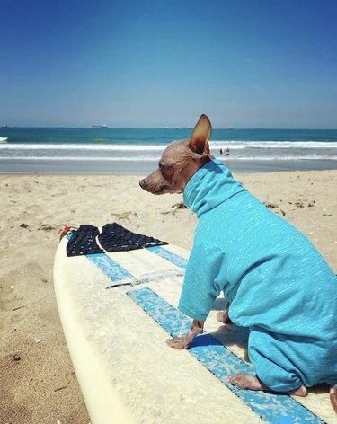 dog on surfboard on sand