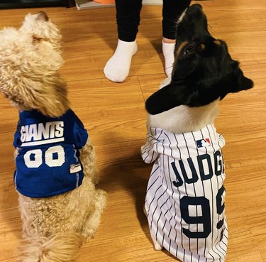dog in giants jersey