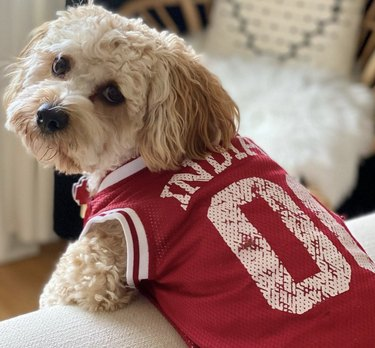 dog in red jersey