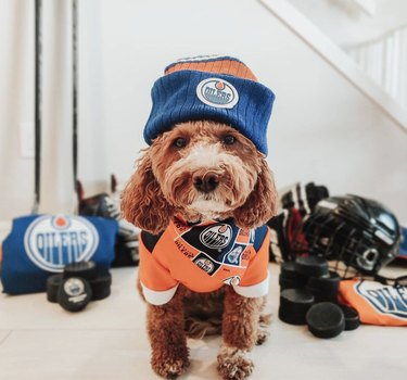 dog in oilers jersey and hat