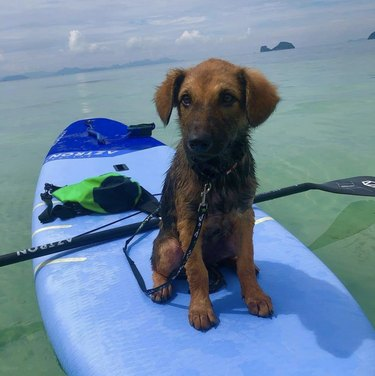dog on blue surfboard